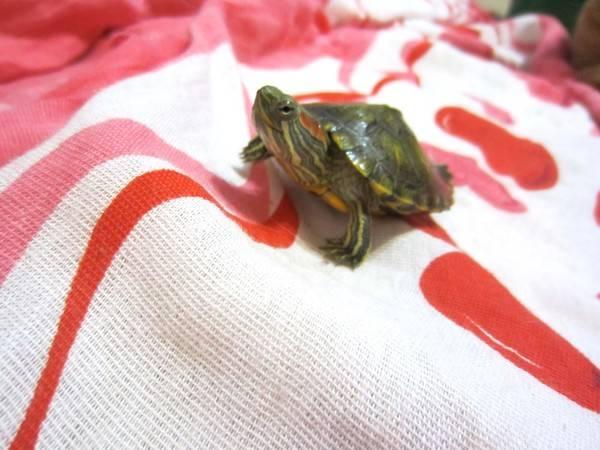Спячка красноухих черепах: описание,фото,видео.