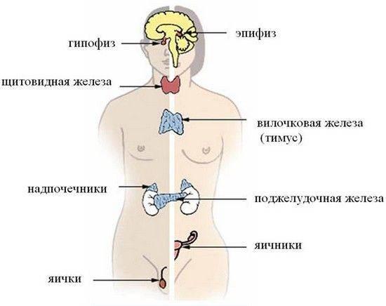 Эндокринная система -  биология егэ