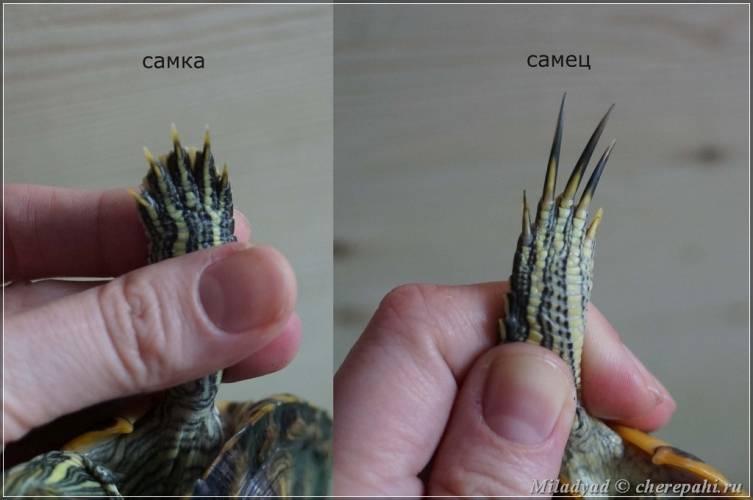 Определяем пол сухопутной черепахи: на что нужно обратить внимание?