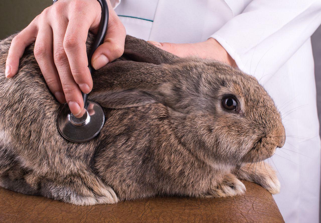 Здоровье шиншиллы. Тревожные симптомы, при которых нужно бежать к ветеринару