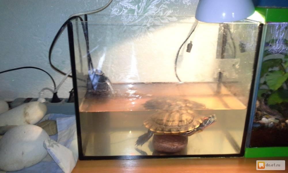 Сколько может прожить красноухая черепаха без воды