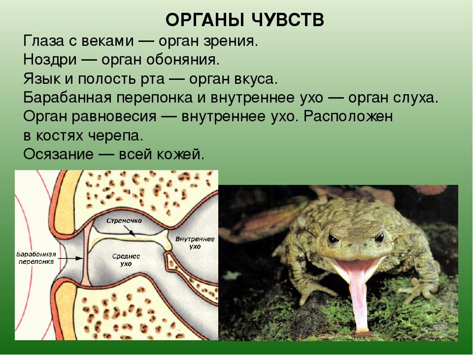 Красноухая черепаха в домашних условиях: уход и содержание, кормление, болезни, фото, сколько живут красноухие черепахи
