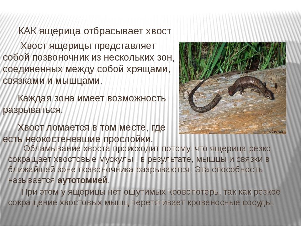 Хвост ящерицы, особенность строения и отбрасывания