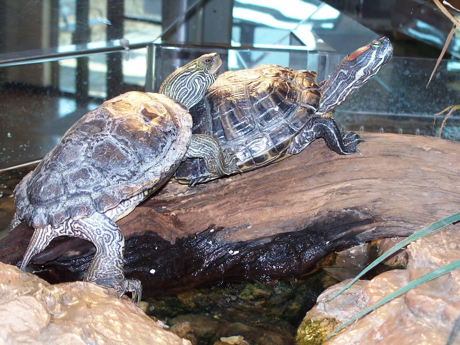 Виды маленьких черепах и правила их содержания