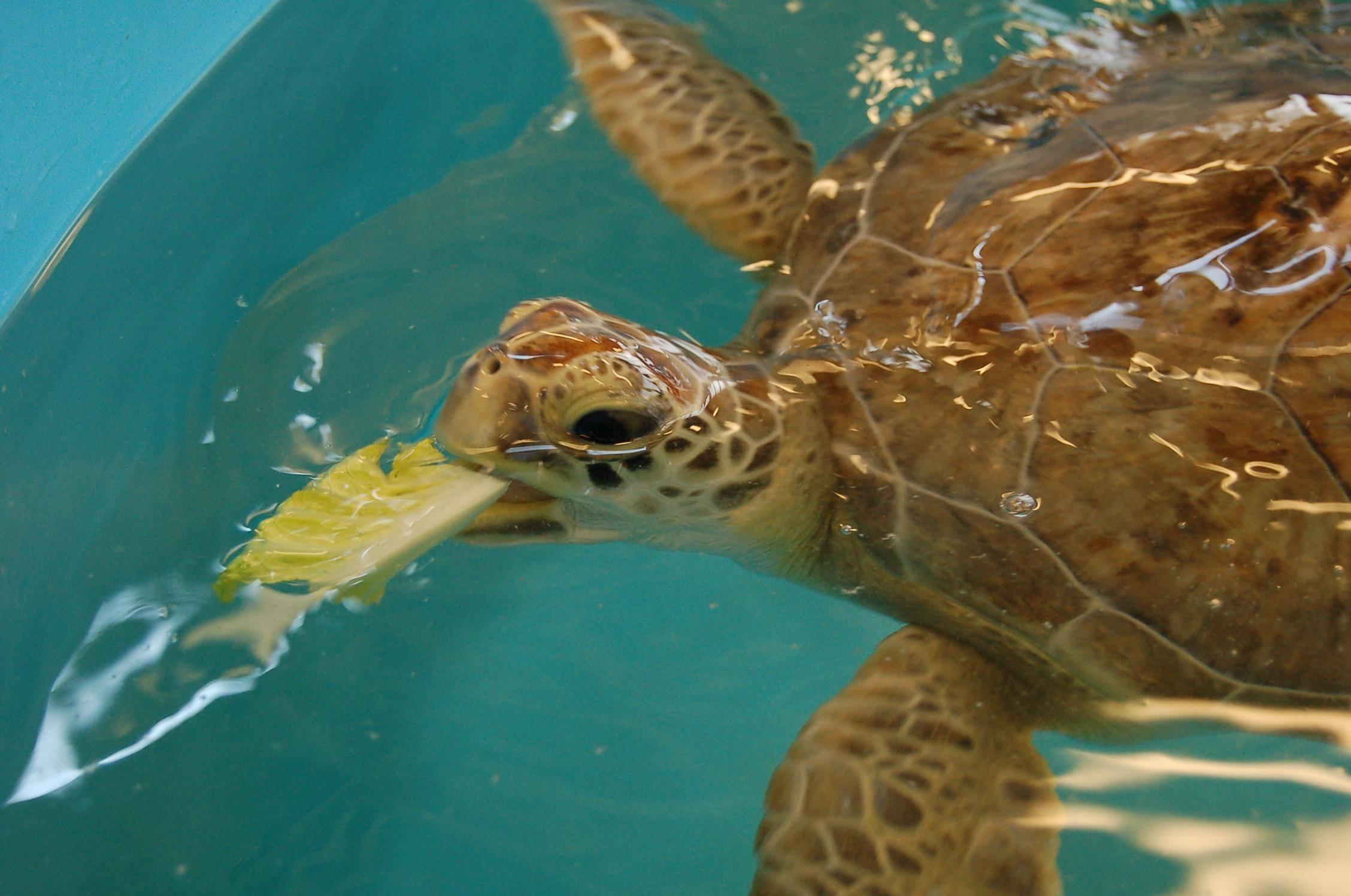 Чем кормить черепаху в домашних условиях?