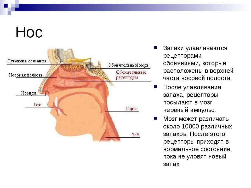 Органы дыхания черепахи. строение респираторной системы черепах, обоняние и осязание