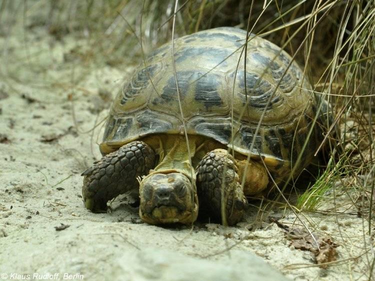 Материалы к ландшафтному распределению и экологии среднеазиатской черепахи )agrionemys horsfieldii (gray, 1844)) в южном таджикистане