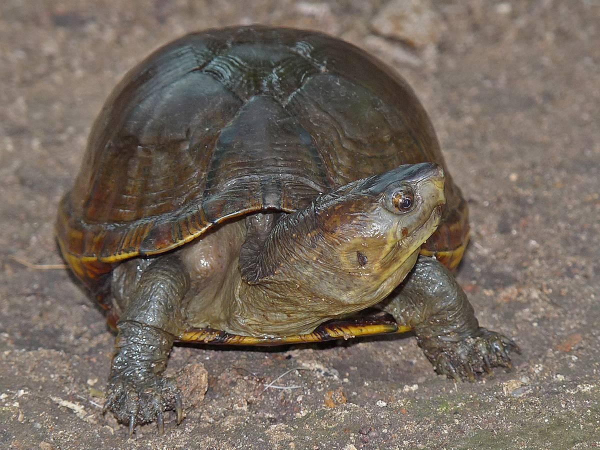 Сонорская замыкающаяся черепаха — википедия переиздание // wiki 2