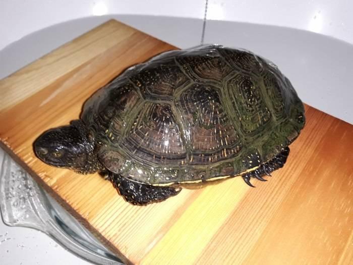 Как найти черепаху | мои домашние питомцы