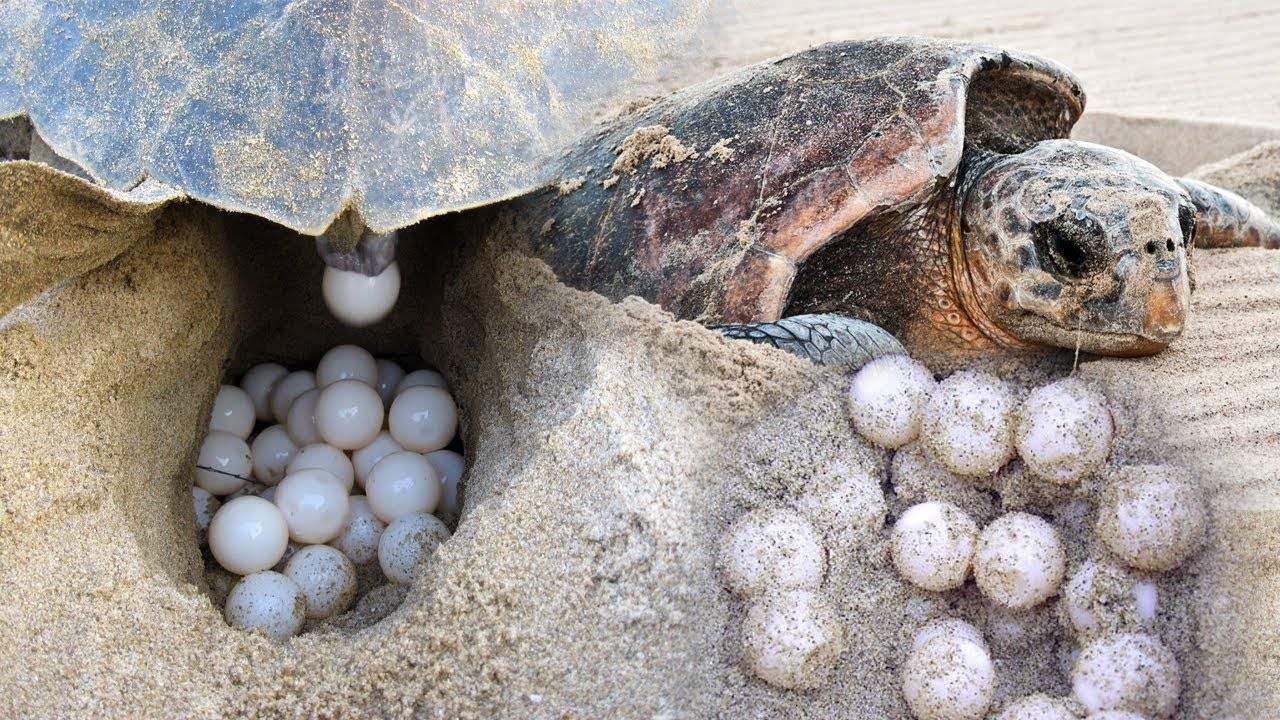 У вас живет черепаха