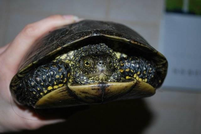 Красноухие черепахи сколько живут? сколько живет черепаха домашняя?