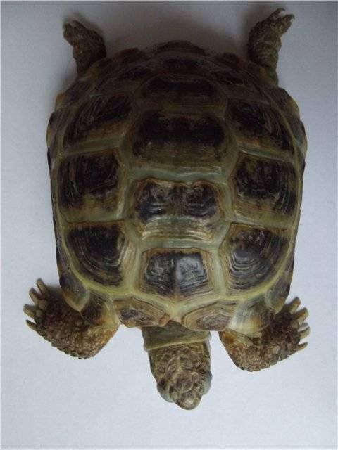 Сколько живут черепахи разных видов?