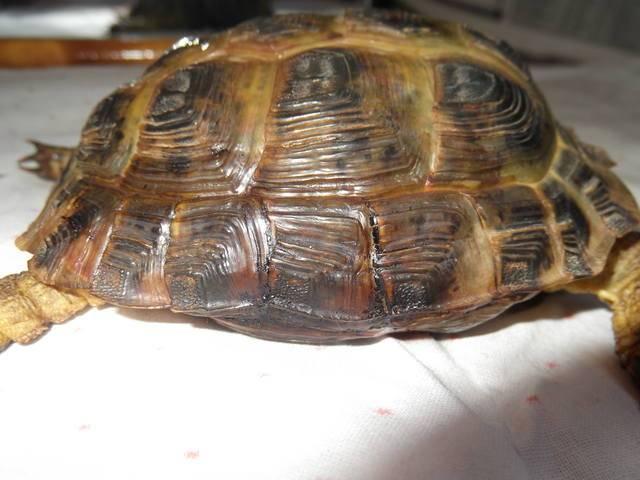 Что делать, если у черепахи треснул панцирь