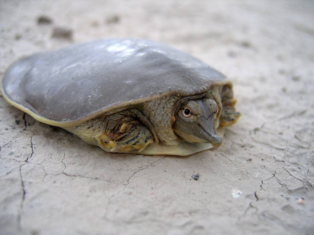 Мягкотелые черепахи — википедия. что такое мягкотелые черепахи