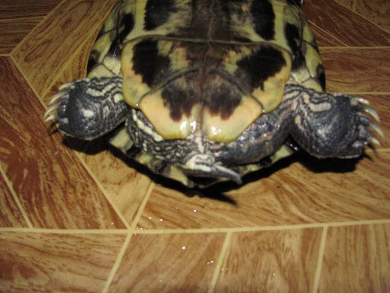 Сухопутные черепахи: уход и содержание