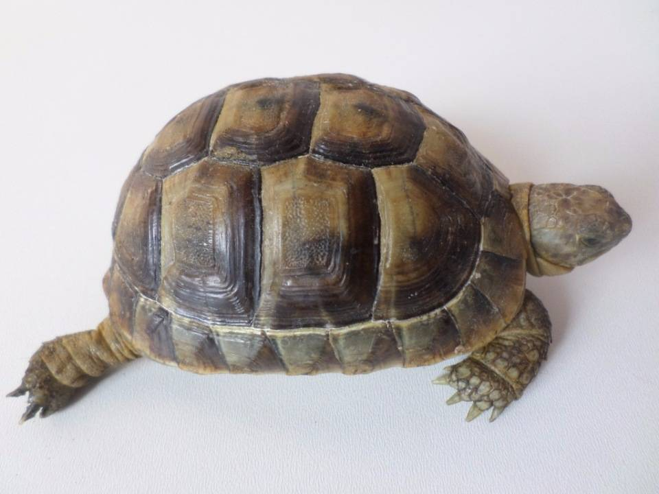 Сухопутная среднеазиатская черепаха: особенности поведения, содержание, уход и кормление в домашних условиях