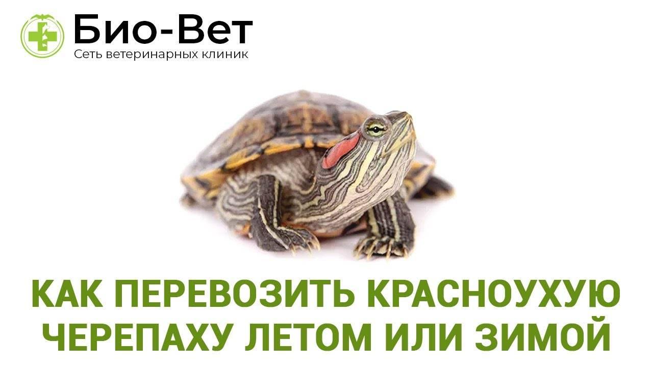 Как перевезти черепаху зимой