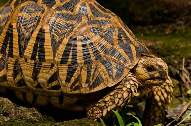 Geochelone elegans (индийская звездчатая черепаха)