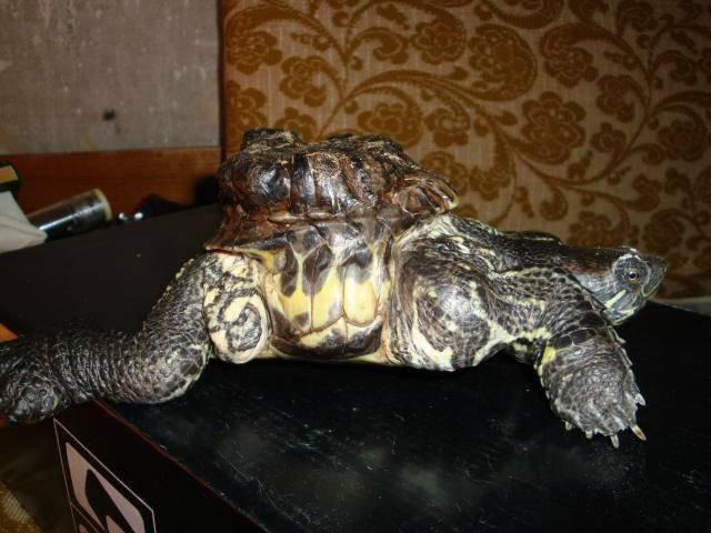 В бразилии потеряли черепаху и нашли ее через 30 лет в чулане