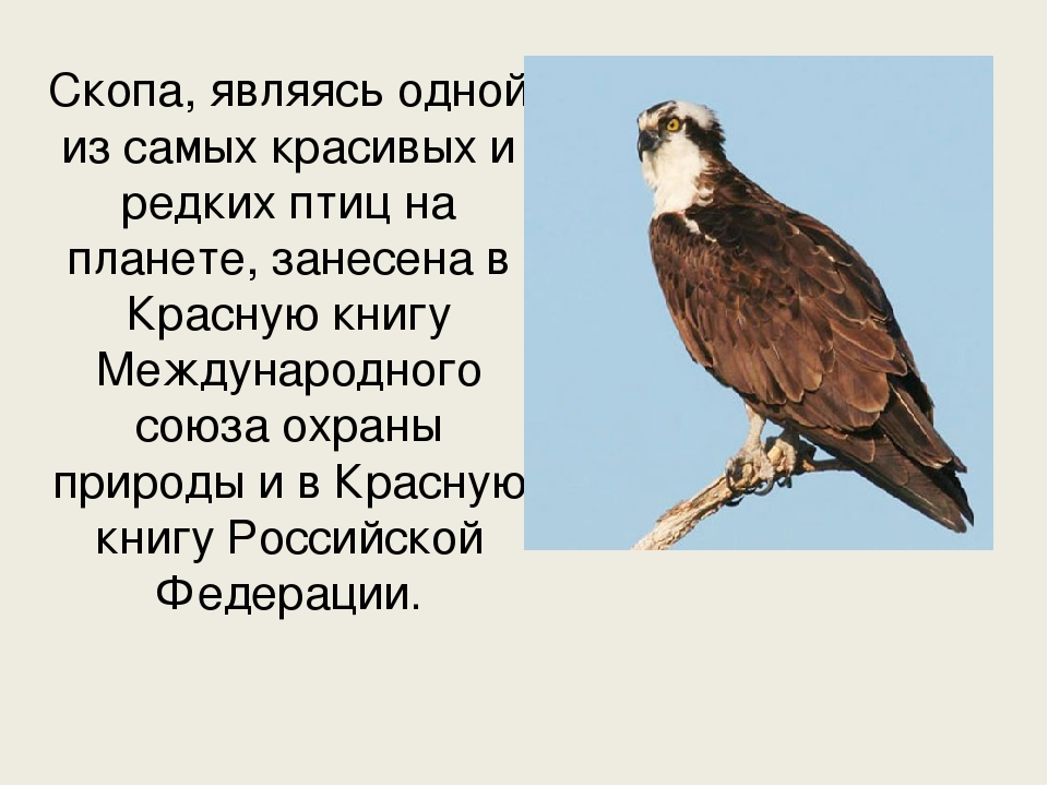 Птица скопа — символ 2018 года (описание, фото)