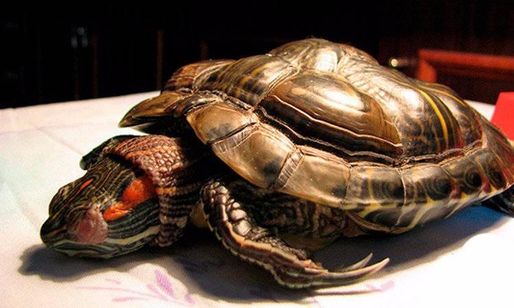 Что делать, если черепаха не хочет есть. почему черепаха ничего не ест - главные причины