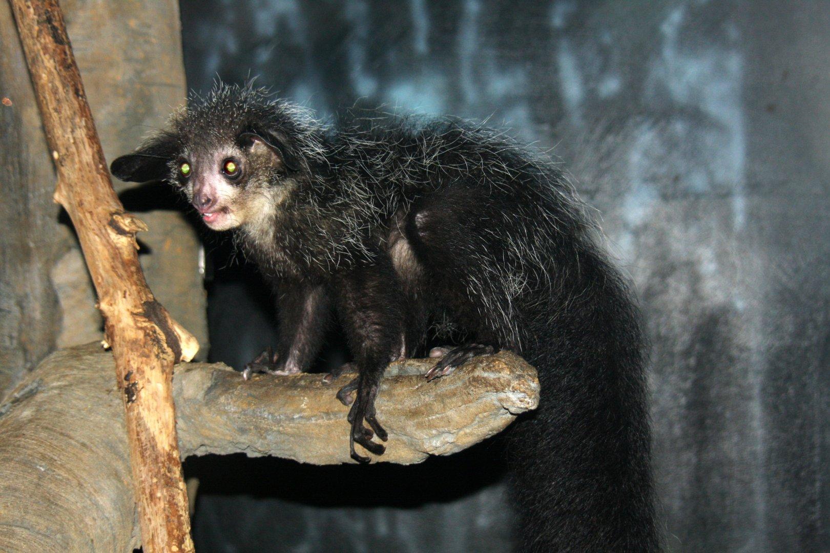 Руконожка (ай-ай) – причудливый зверек Мадагаскара