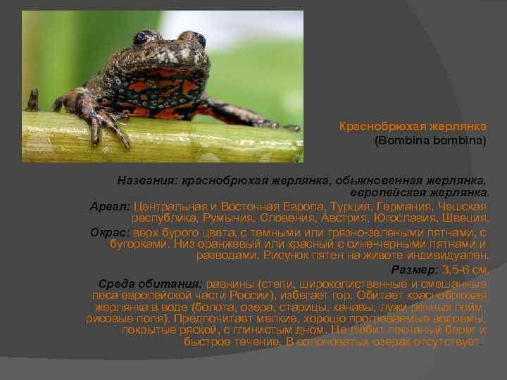 Краснобрюхая жерлянка: описание, места обитания, особенности