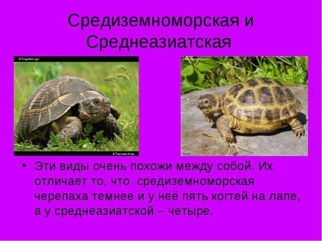 Средиземноморская черепаха в домашних условиях: описание, особенности содержания и интересные факты