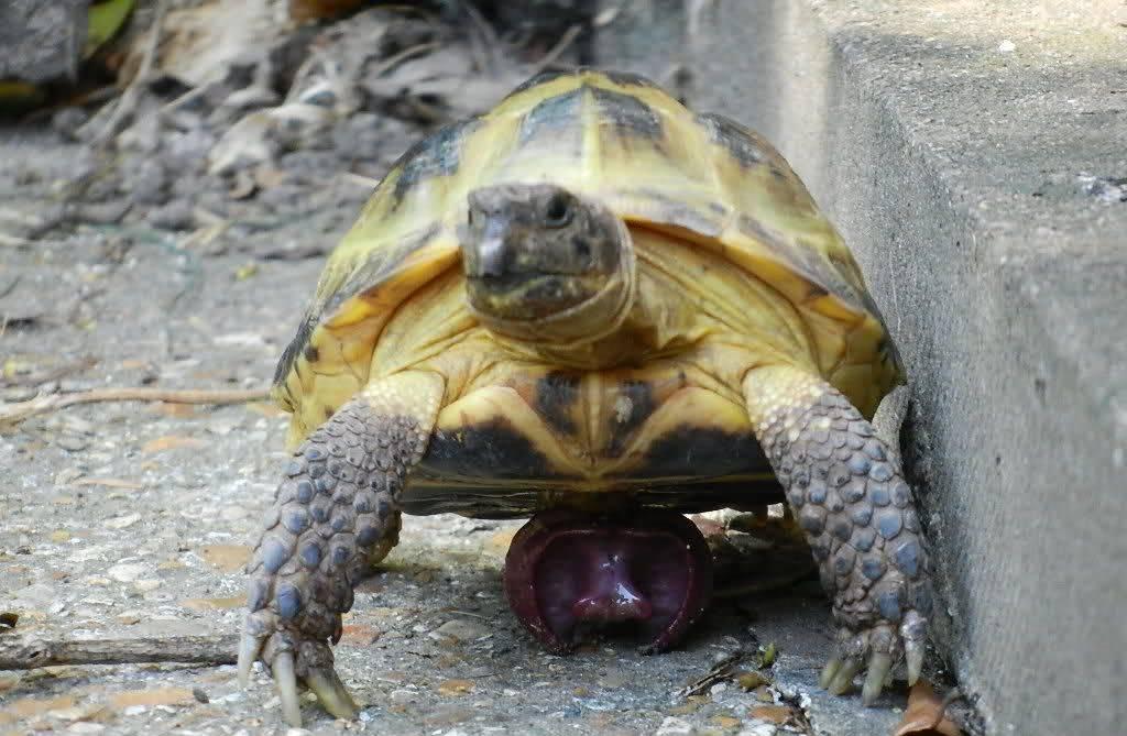Как размножаются красноухие черепахи