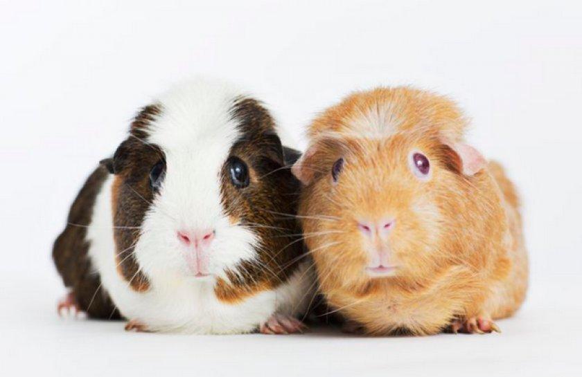 20+ интересных фактов о морских свинках