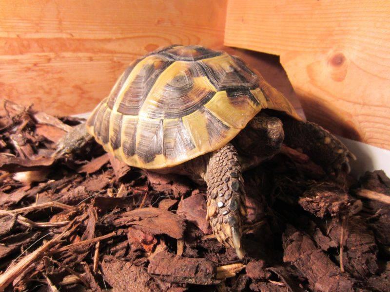 Спячка красноухих черепах. что нужно знать? зимняя спячка у черепах что делать если красноухая черепаха впала в спячку