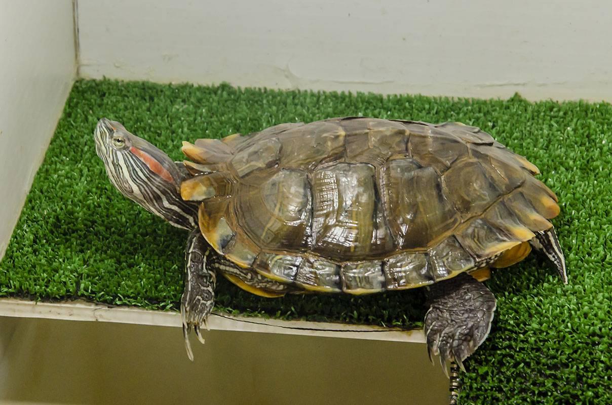 Chelydra serpentina (каймановая черепаха)