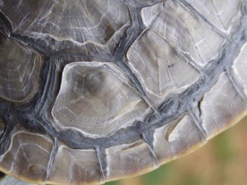 Почему у красноухой черепахи отслаивается панцирь?