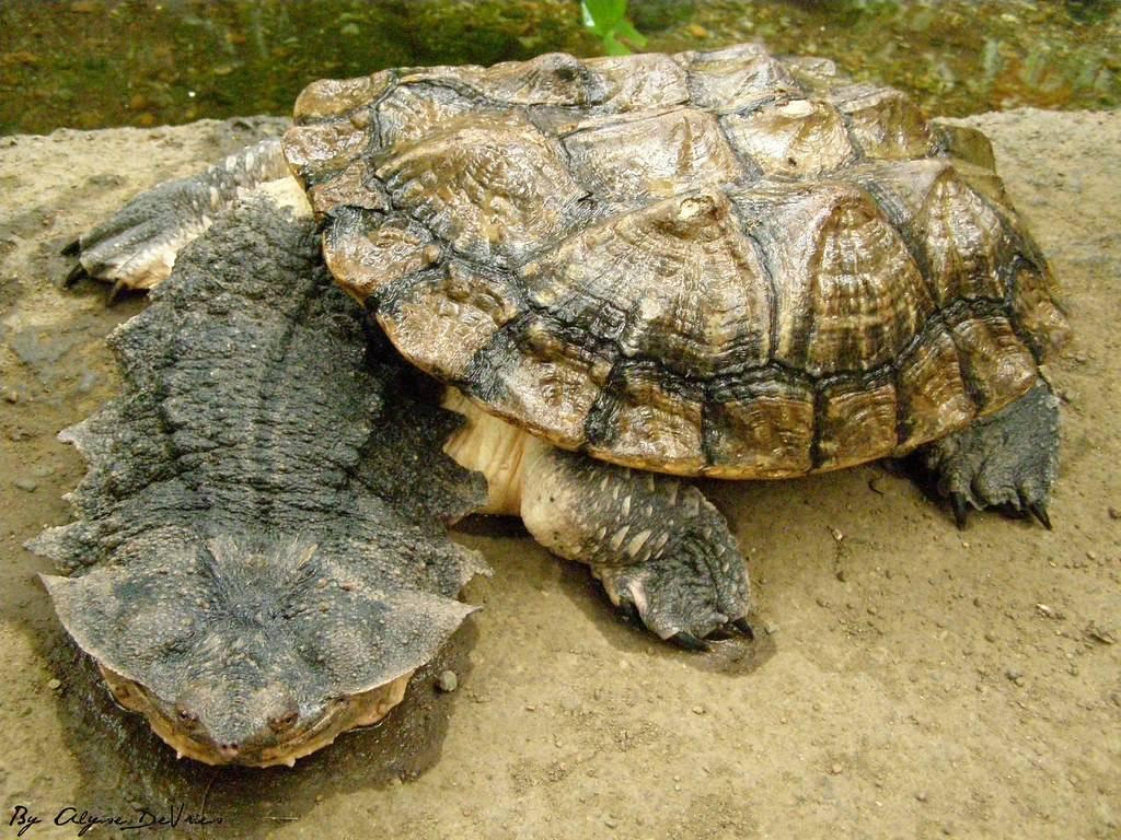 Содержание звёздчатой черепахи в домашних условиях