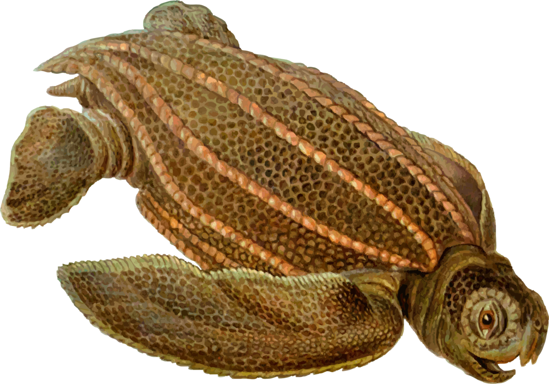 Centrochelys sulcata (шпороносная черепаха)