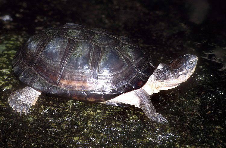 Африканская пеломедуза - african helmeted turtle - qwe.wiki