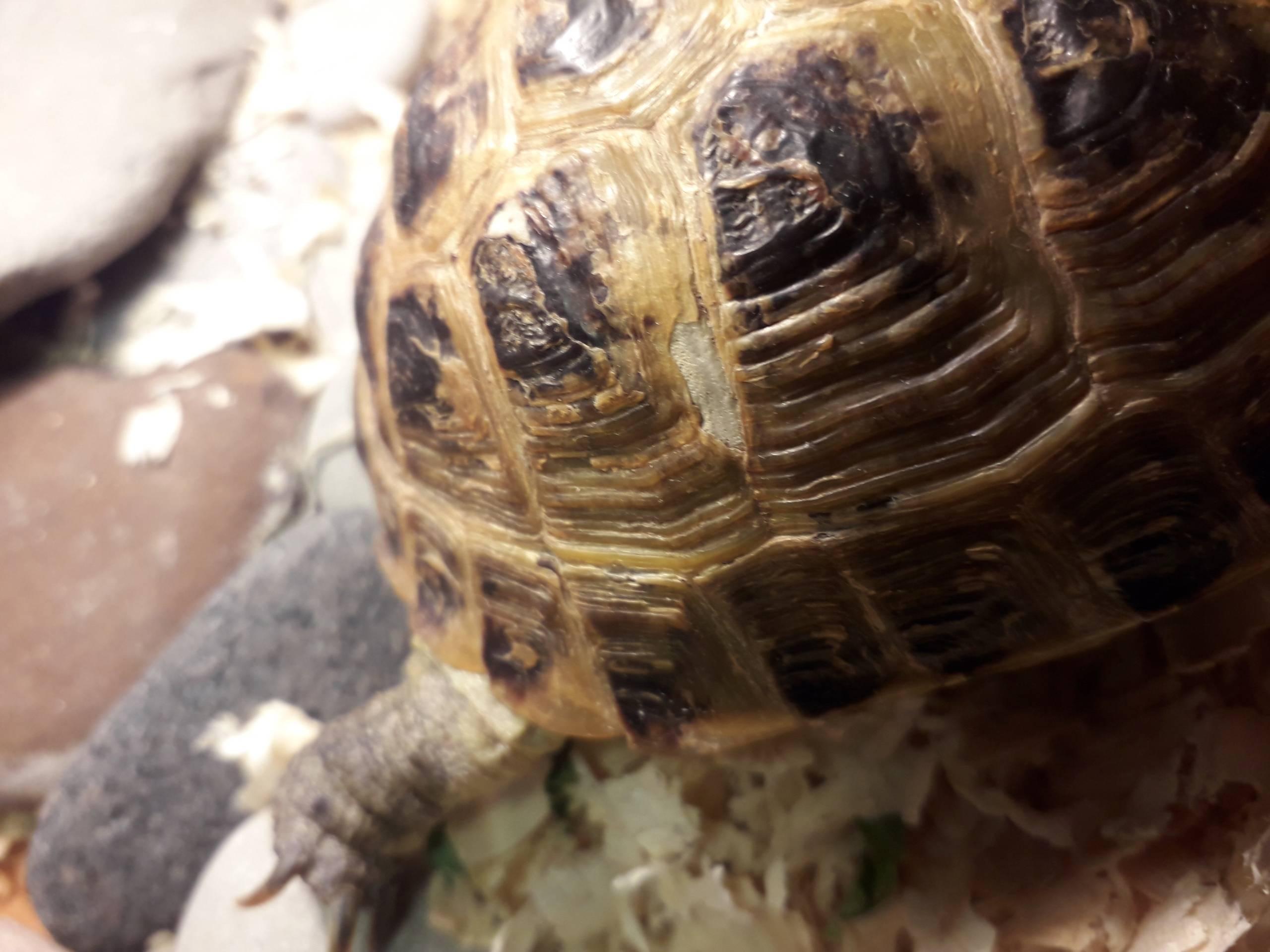 Как лечить грибок и микоз у красноухих и сухопутных черепах