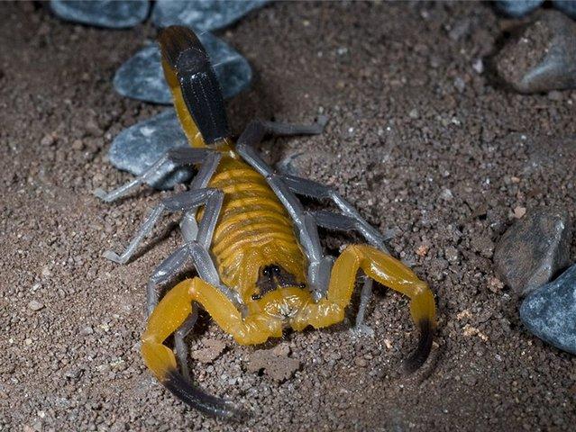 Содержание императорского скорпиона в домашних условиях: оборудование жилища